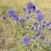 Echinops_ruthenicus